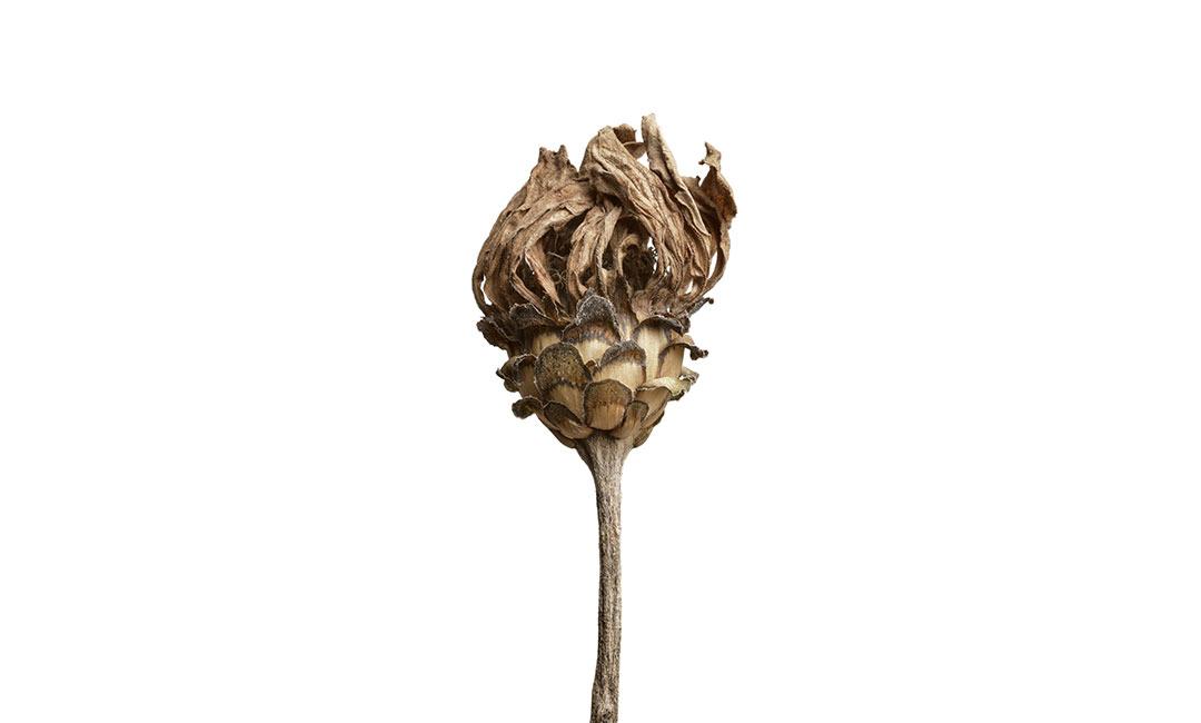 artwork Pflanzenfotografie vertrocknete Zinnie